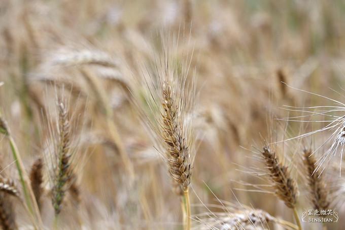 14小麥結穗-2