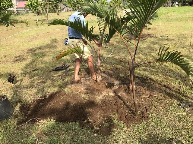 Edmund plants champagne palm trees.