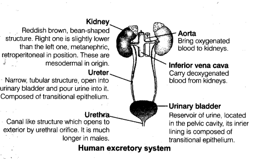 Neet Biology Notes Excretory Products And Their Elimination