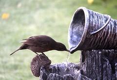 HolderMrs Blackbird having a drink