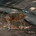 <p><a href=&quot;http://www.flickr.com/people/140820502@N08/&quot;>exploreslk</a> posted a photo:</p>&#xA;&#xA;<p><a href=&quot;http://www.flickr.com/photos/140820502@N08/25135894238/&quot; title=&quot;A Deer cub&quot;><img src=&quot;http://farm5.staticflickr.com/4581/25135894238_136d9322e5_m.jpg&quot; width=&quot;240&quot; height=&quot;160&quot; alt=&quot;A Deer cub&quot; /></a></p>&#xA;&#xA;<p>Click to read more on <a href=&quot;http://exploreslk.com/dehiwala-zoo/&quot; rel=&quot;nofollow&quot;>Dehiwala Zoo</a>. <br />&#xA;<br />&#xA;Feel free to use this image, but give credits to <a href=&quot;http://exploreslk.com/&quot; rel=&quot;nofollow&quot;>exploreslk.com</a>.</p>