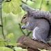 grey squirrel 0001 EJC #