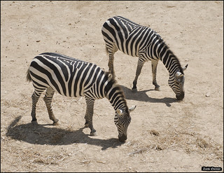 Zebras in Jerusalem-Biblical-Zoo-IZE-676