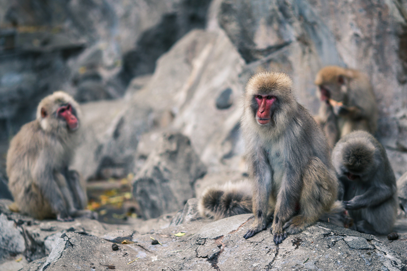 Snow monkeys at Ueno Zoo