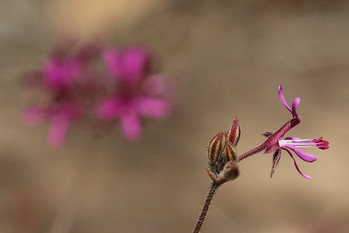 Pelargonium triphyllum in wild