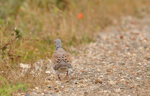 Tourterelle des bois - European Turtle Dove (Streptopelia turtur)