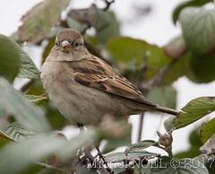 Moineau domestique Passer domesticus - House Sparrow : Michel NOËL © 2017-4280.jpg