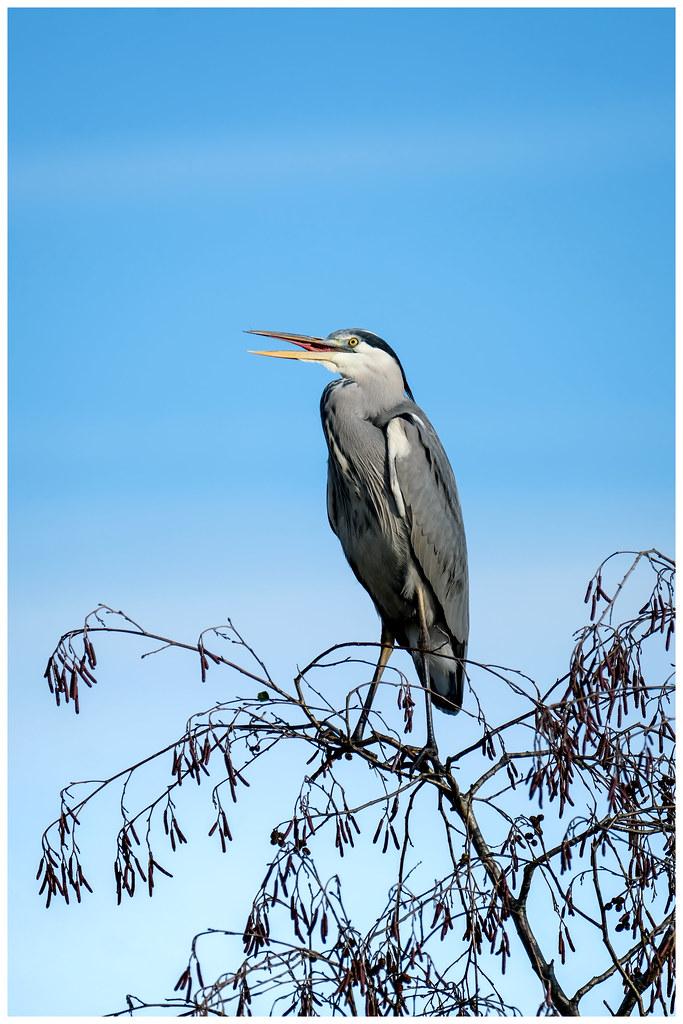 Herons Above