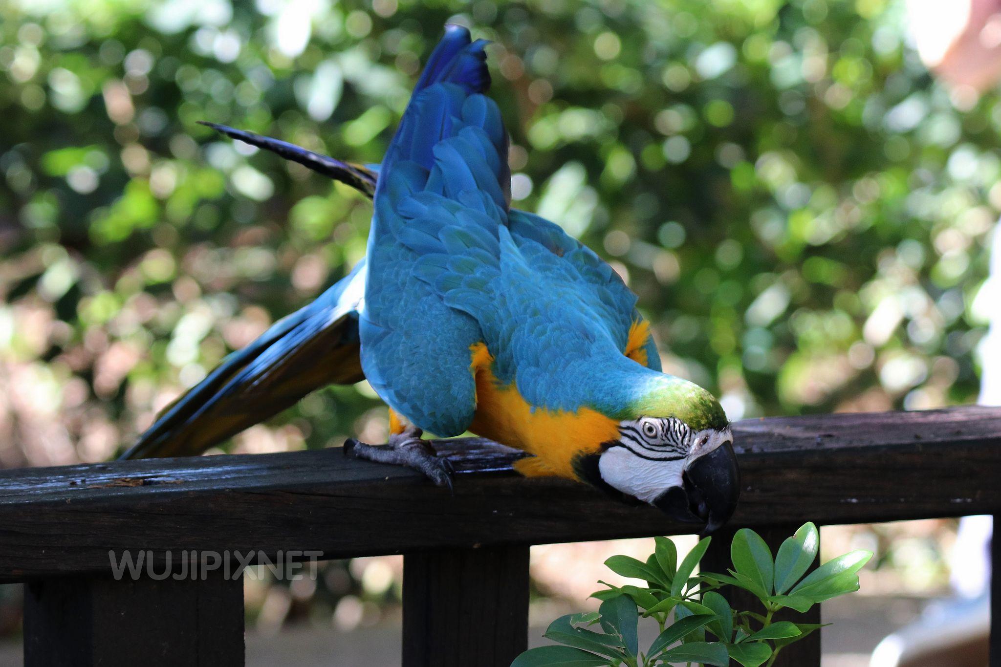 琉璃金鋼鸚鵡