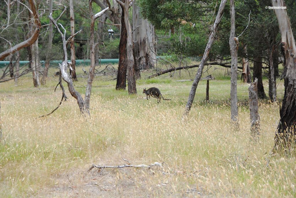 Kenguru loikkii Phillip Islandin Koala Conservation Centressä Australiassa