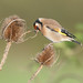 Goldfinch (2 of 5)