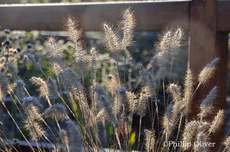 ornamental-grass-hamelyn