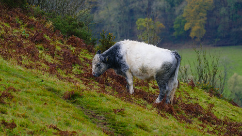 Grazing among the bracken
