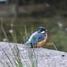 Kingfisher Female Alcedo atthis 001-1