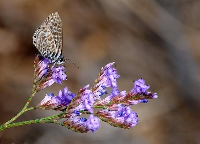 Farfalle d'autunno - Autumn butterflies