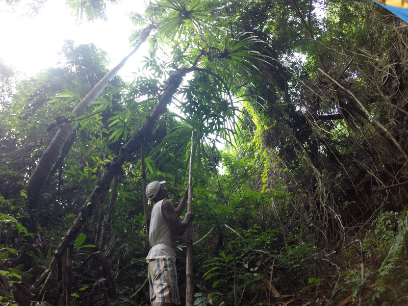 Harvesting bariw leaves