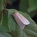 Common Wainscot, St Bees, Cumbria, England