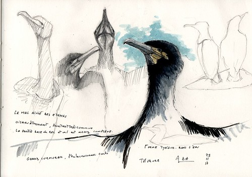 Etude sur le Grand cormoran (Phalacrocorax carbo), le mal aimé des étangs, dessin au crayon in situ avec comme atelier la voiture car ça grésille à l'étang de Thodure en Bièvre (38), encre et aquarelle à la maison.