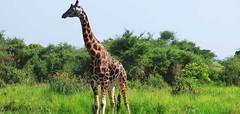 giraffe, Uganda, kidepo