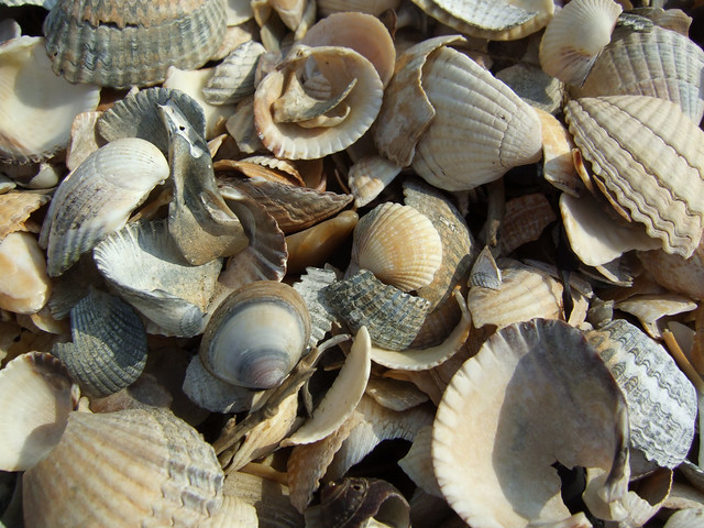 Shells on the Dengie Peninsula