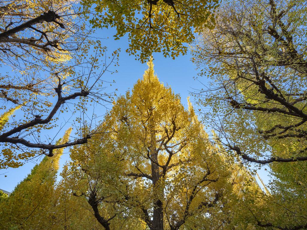 神宮外苑銀杏並木②