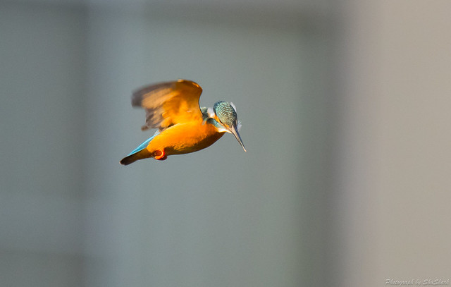 20171123-kingfisher-DSC_8118