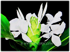 Highly scented white flowers of Hedychium coronarium (White Ginger Lily, White Ginger, Butterfly Ginger Lily, Garland Flower), 4 Nov 2017