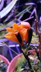 Dendrobium vexillarius