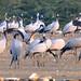 Migratory birds by iamrawat