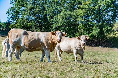 17-Nos amis les vaches