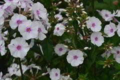 PHLOX maculata 'Reine du Jour'