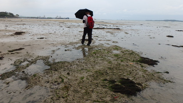 Needle seagrass (Halodule uninervis)