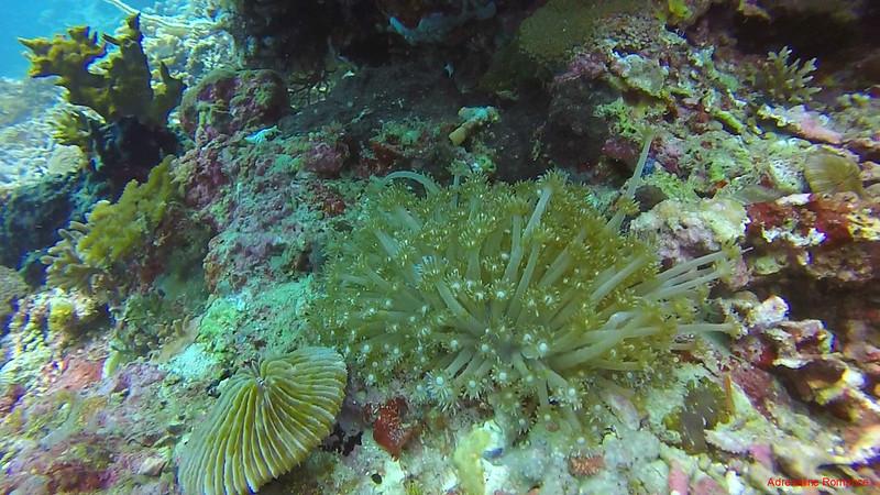 Alcyonacean coral