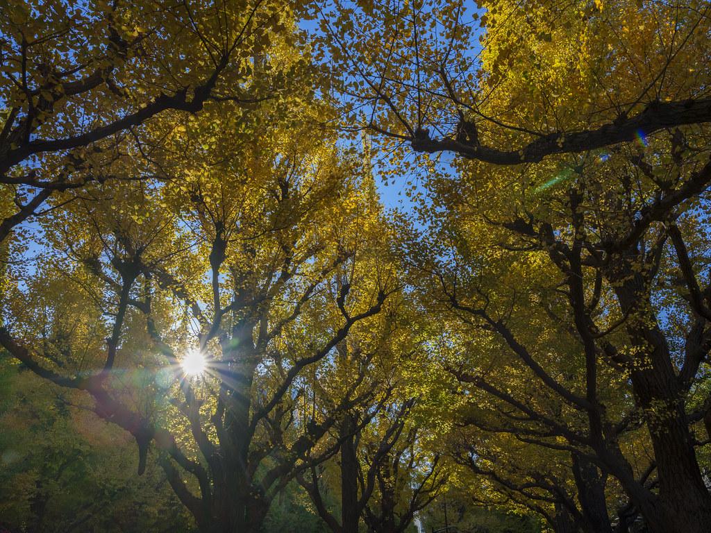 神宮外苑銀杏並木⑤