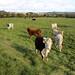Friendly cows near Burpham