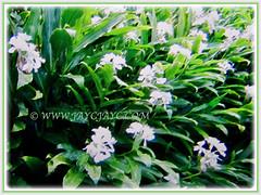 Hedychium coronarium (White Ginger Lily, White Ginger, Butterfly Ginger Lily, Garland Flower) flowering in abundance, 4 Nov 2017