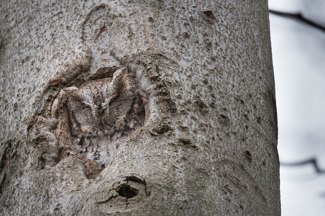 Chroniques d'Angrignon   Amandine au trou no 6   Petit-duc maculé femelle de forme grise   Parc Angrignon   Arrondissement Sud-Ouest   Montréal
