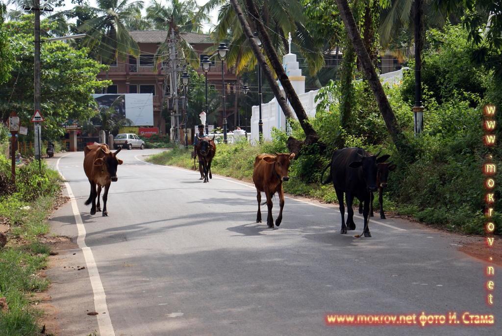 Фото священных коров.