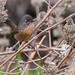 Wrentit Inceville Los Liones Canyon  Pacific Palisades Los Angeles 128