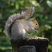 Brian the Grey Squirrel
