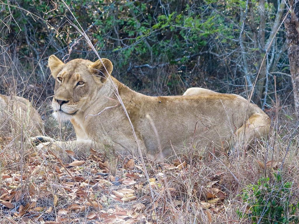 Leones en Sudáfrica