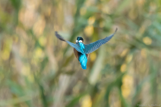 20171203-kingfisher-DSC_9661