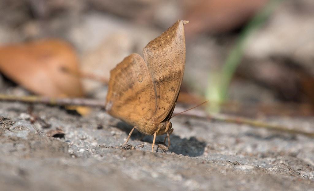 Southern Duffer(Discophora lepidea)
