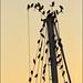 Starlings at dusk