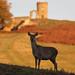 Red Deer Hind Cervus elaphus 004-1