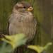 House Sparrow.