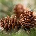 Three Pine Cones by Through Serena's Lens