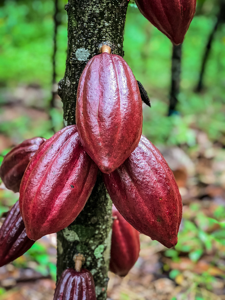 cacao pods grow right out of the trunk of the tree