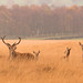 Red Deer Rut