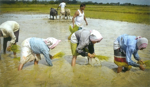 धान की रोपाई करते किसान